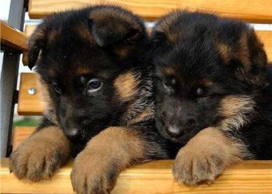 صور كلاب
